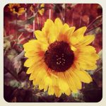 Sunflowers are Summer….