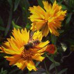 A fuzzy buzzy bee…